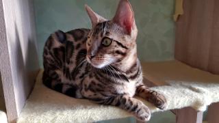 Эксклюзивные бенгальские котята Львов