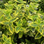 Euonymus Emerald Gold wholesale
